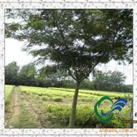 供应绿化苗木行道树乔木《合欢》《合欢种》