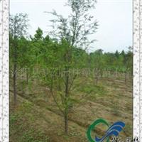 供应红花酢浆草,红花三叶草供应,白花三叶草价格行情