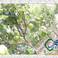 供应绿化苗木行道树乔木《木瓜树》工程专供苗