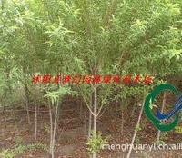 桃树苗|桃树供应|桃树种子供应|紫叶碧桃供应|青叶碧桃价格