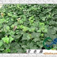 攀援花卉常春藤供应,常青藤价格,紫藤供应,凌霄价格