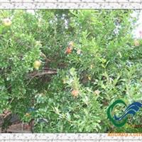 绿化苗木《花石榴供应》《果石榴供应》石榴树价格行情