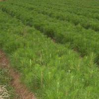 大量造林苗枫香0.18元木荷香樟杉苗湿地松青枫