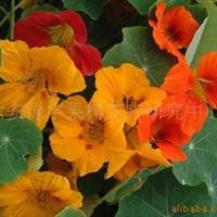 供应旱金莲种子,果树,果苗,花卉苗,花种子