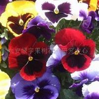 供应彩蝶三色堇种子,果树,果苗,花卉苗,花种子