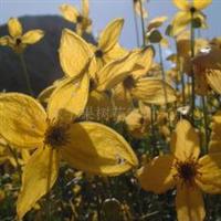 供应黄花铁线莲种子,果树,果苗,花卉苗,花种子