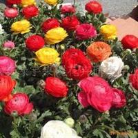 供应花毛茛种子,果树,果苗,花卉苗,花种子