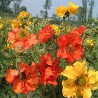 供应水杨梅种子,果树,果苗,花卉苗,花种子