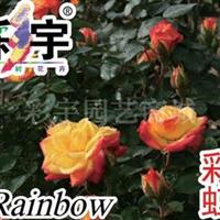 供应彩虹月季花苗,果树,果苗,花卉苗