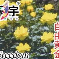 供应自由黄金月季花苗,果树,果苗,花卉苗