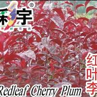 供应红叶李苗,果树,果苗,花卉,花卉苗