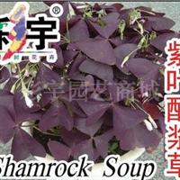 供应紫叶酢浆草花苗,果树,果苗,花卉,花卉苗