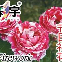 供应节日礼花大花观赏月季花苗,果树,果苗,花卉苗