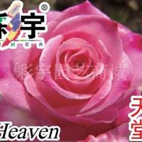 供应天堂大花观赏月季花苗,果树,果苗,花卉苗