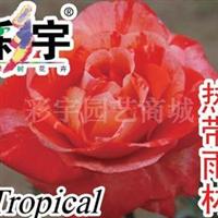 供应热带雨林大花观赏月季花苗,果树,果苗,花卉苗