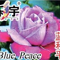 供应蓝和平大花观赏月季花苗,果树,果苗,花卉苗