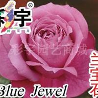 供应兰宝石大花观赏月季花苗,果树,果苗,花卉苗