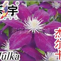 供应杰尔卡铁线莲花苗,果树,果苗,花卉,花卉苗