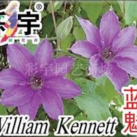 供应蓝魅铁线莲花苗,果树,果苗,花卉,花卉苗