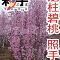供应龙柱碧桃-照手红树花苗,果树,果苗,花卉,花卉苗