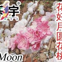 供应花好月圆花桃苗,果树,果苗,花卉,花卉苗