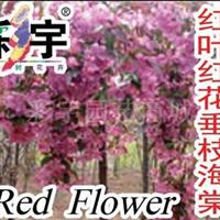 供应红叶红花垂丝海棠树苗,果树,果苗,花卉,花卉苗