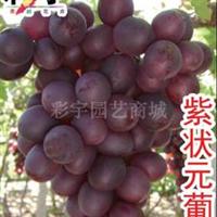供应紫状元葡萄树葡萄苗,果树,果苗,花卉,花卉苗