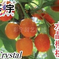 供应水晶樱桃树樱桃苗,果树,果苗,花卉,花卉苗