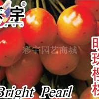 供应明珠樱桃苗,果树,果苗,花卉,花卉苗