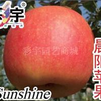 供应晨阳苹果树苹果苗,果树,果苗,花卉,花卉苗