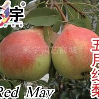 供应五月红梨树梨苗,果树,果苗,花卉,花卉苗