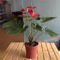 东莞生产红掌A160#年宵花绿植盆栽观花植物基地直销批发零售
