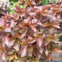 供应绿化用苗红桑工地常用袋苗