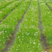 东莞苗场批发供应大量绿化地被植物袋苗白花葱兰