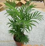 批发供应室内观叶植物袖珍椰子小盆栽