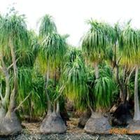 供应园林绿化棕榈类植物酒瓶兰