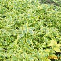供应园林绿化苗木金叶连翘袋苗