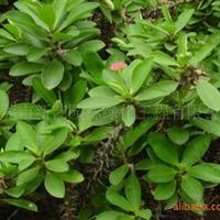 供应绿化苗木虎刺梅袋苗