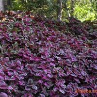 供应观叶类植物彩叶花卉彩叶草袋苗