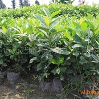批发供应绿化袋苗栀子花