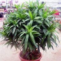 提供室内租赁植物百合竹
