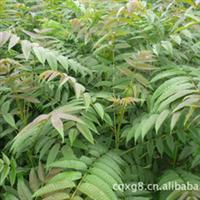 大量供应香椿红油香椿苗香椿树苗香椿种子批发