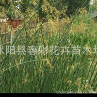 花卉苗木、水生花卉/水生植物/、水培植物、水葱/基地直销