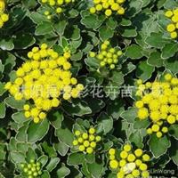 春彩花卉销售草花地被植物,水生植物。亚菊,