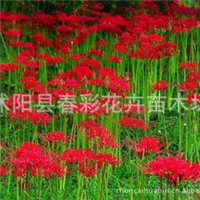石蒜(别名老鸦蒜、蒜头草、蟑螂花、曼珠沙华、彼岸花