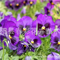 草花三色堇.三色堇菜、蝴蝶花、人面花、猫脸花、阳蝶花、鬼脸花