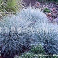 春彩花卉,销售蓝羊茅。水生植物,地被草花植物,乔灌木直销