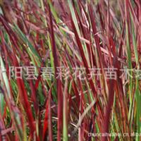 春彩花卉供应多年生草本植物,茅草科,血草,日本血草,