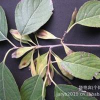杜仲种子(发芽率高、质量优)