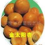 供应各种成活率高新世纪甜杏苗